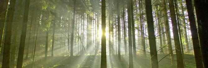 Der Wald: Wertvoller Rohstofflieferant für den Werkstoff Holz